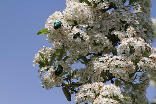 Rose Beetle, Firethorn, White, Bush, Blossom, Bloom