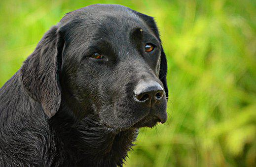 Labrador, Dog, Animal, Canine, Breed, Domestic, Pet