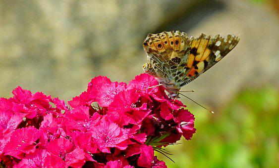 Butterfly, Insect, Flowers, Gożdzik, Stone, Nature