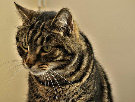 Cat, Starring, Looking, Face, Black, Light Brown