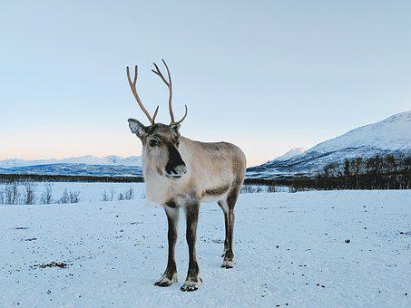 Reindeer, Deer, Snow, Mountain, Animal, Nature, Norway