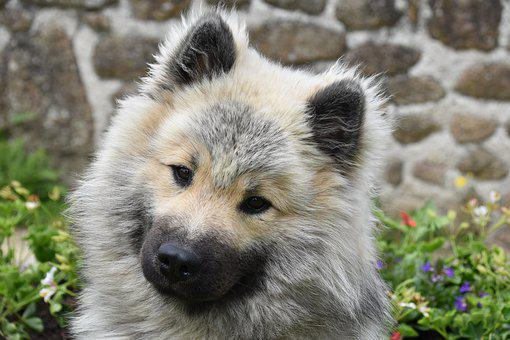 Dog, Dog Eurasier, Dog Olaf Blue, Animal, Pup, Canine