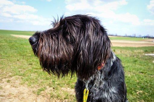 Dog, Dog Head, Hunting Dog, Black Dog, Draathaar