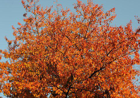 Tree, Autumn Leaves, Fall Colors, Vote, Nature