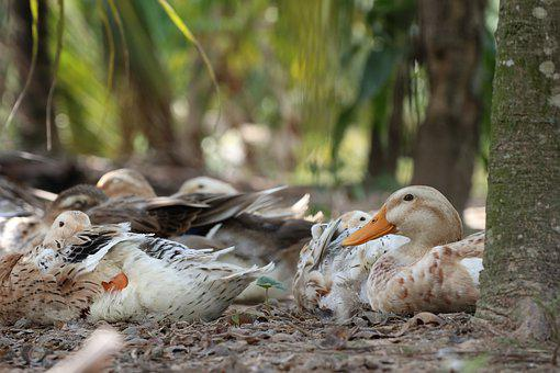 One Duck Looks, Rest, Relaxation, Farm