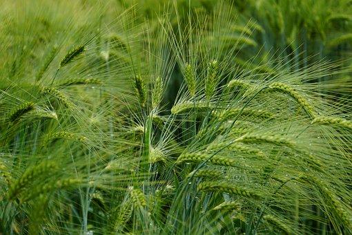 Ear, Cornfield, Cereals, Field, Grain, Agriculture