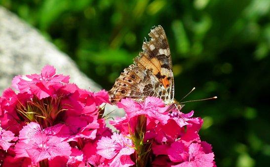 Butterfly, Insect, Flower, Gożdzik Stone, Blooming