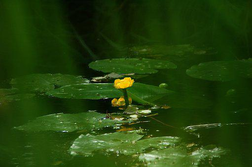 Leaves, Water, Ditch, Yellow, Flower, Water Plant