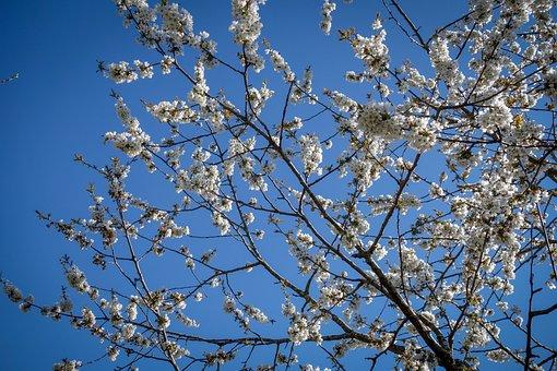 Cherry Blossoms, Flowers, Branch, White, Cherry Tree
