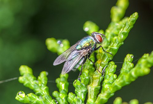 Fly, Insect, Flies, Macro, Green, Close Up, Wings, Wing