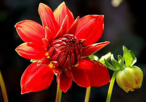 Dahlia, Bud, Flower, Bloom, Summer, Color, Garden