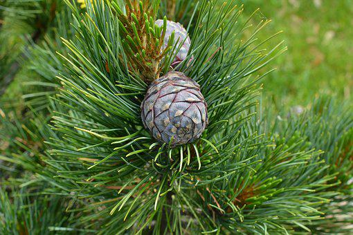 Cone, Pine, Nature, Branch, Tree, Green, Conifer