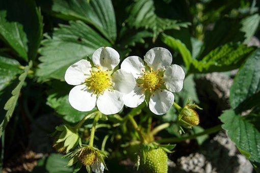 Strawberry, Growth, Green, Immature, Fruit, Garden