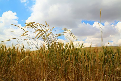 Grain, Nature, Herbs, Agriculture, Plant, Harvest