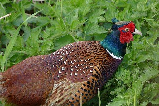 Hunting Pheasant, Colorful Bird, Pheasant, Gorgeous