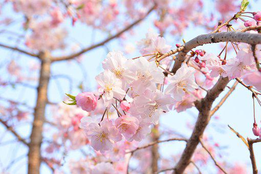 Landscapes, Trees, Japanese Cherry Blossoms, Nature