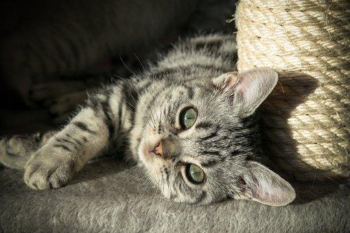 Kitten, British Shorthair, Pet, Cat, Domestic Cat