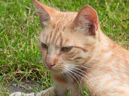 Cat, Dachowiec, Kocurek, Kitten, Rudy