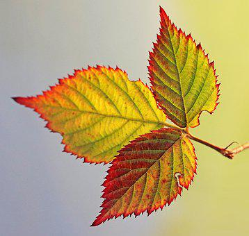 Leaf, Blackberry, Autumn, Colorful, Plant, Garden