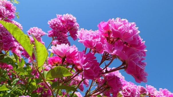 Roses, Leaving, Flowers, Summer, June, Flower, Romantic