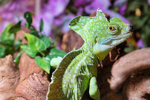 Lizard, Reptile, Terrarium, Close Up