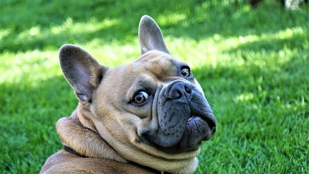 French Bulldog, Dog, Animal Portrait, Pet, Loyal Friend