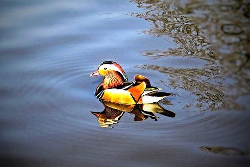 Duck, Mandarin Ducks, Water Bird, Animal