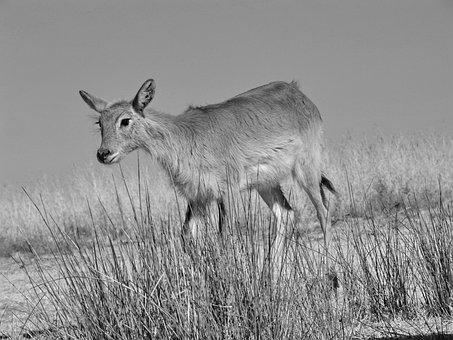 Lechwe, Marsh Antelope, Antelope, Africa, Moor Antelope