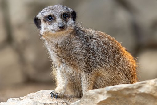 Nature, Animals, Animal World, Mammal, Meerkat