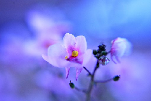 Flower, Pink, Nature, Small, Soft, Fairylike, Dreamy