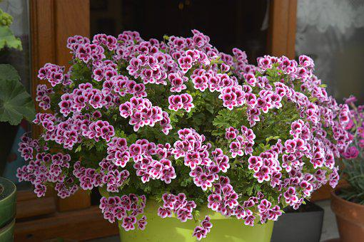 Flowers, Geranium, Nature, Plants, Purple, Flora