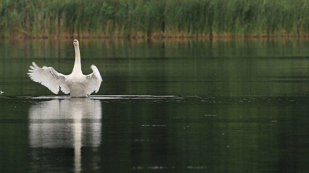 Swan, Lake, Nature, Noble, Wing, Birds, Water