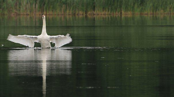 Swan, Lake, Wing, Noble, White, Schwimmvogel, Nature