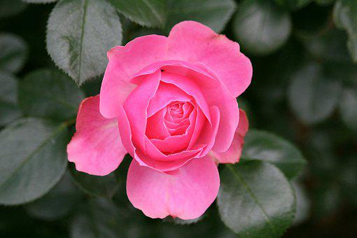 Pink, Noble, Love, Romantic, Blossom, Bloom