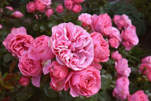 Rose, Nostalgic Beetrose, Shrub Rose, Floribunda