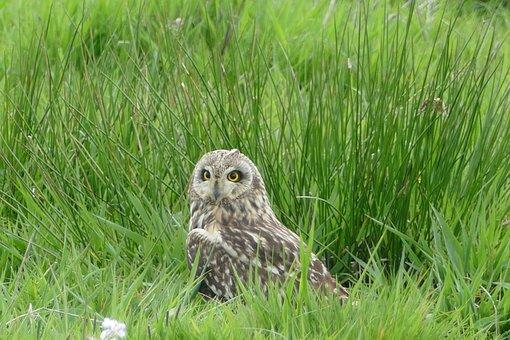 Short-eared Owl, Owl, Rare Bird, Feather, Nature