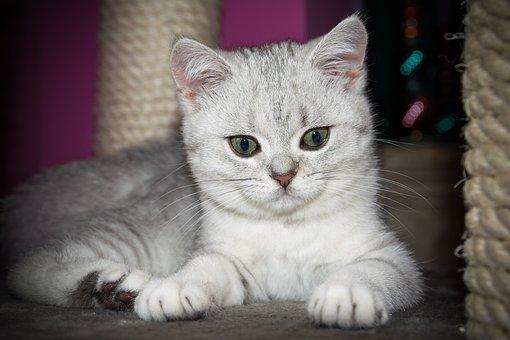 Kitten, British Shorthair, Cute, Pet, Cat, Domestic Cat