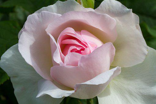 Rose, Blossom, Bloom, White, Pink, Nature, Rose Bloom