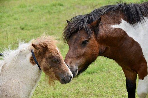 Shetland Ponies, Small Horses, Pony Stallion, Pony Foal