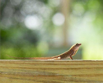 Cuban Brown Anole, Florida, Lizard, Porch, Outdoors