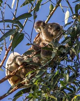Koala, Bear, Australia, Queensland, Marsupial, Wild