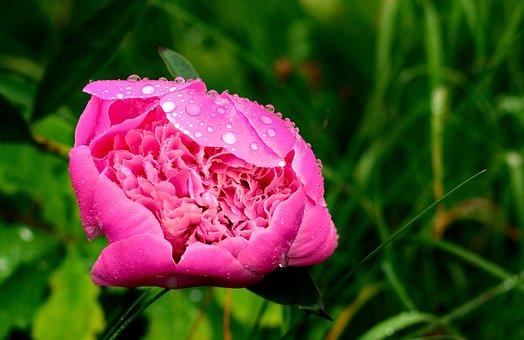 Peony, Rain, Nature, Raindrop, Pink