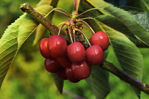 Cherries, Fruit, Red, Ripe, Fresh, Delicious, Food