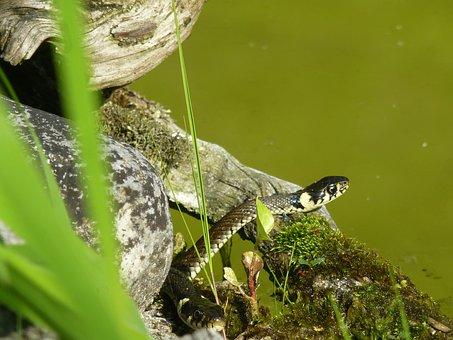 Snake, Reptile, Grass Snake, Pond