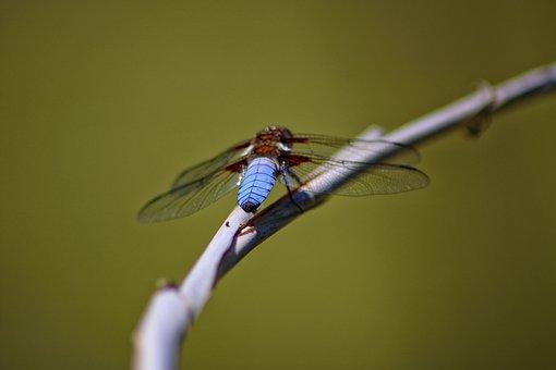 Libelle, Natur, Teich, See, Rohhalm, Wasser, Fliege