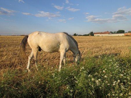 Stallion, Horse, Gypsy, Graze, Landscape, Romantic