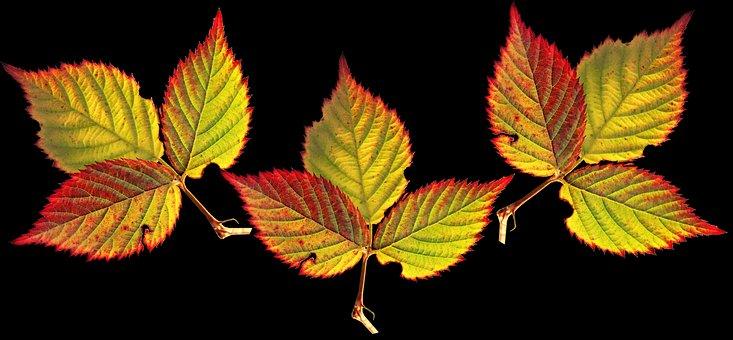 Leaves, Blackberry, Autumn, Season, Colorful, Garden