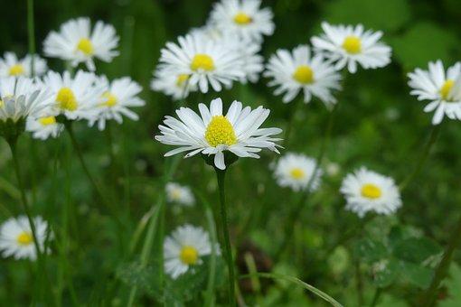 Daisy, Pointed Flower, Blossom, Bloom, Flower, Spring
