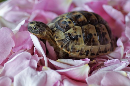 Turtle, Terrestrial, Greek, Cub, A Bed Of Roses, Rose