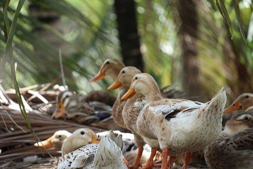 Three Ducks, In Line, White Feather, Brown, Riverside